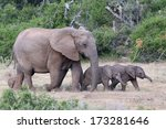 Stock photo two playful baby african elephants running ahead of their mother 173281646