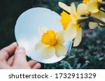 Yellow Daffodils Reflected In A ...
