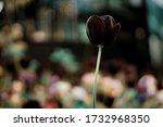 Black Tulip With Bokeh In...