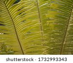 green cycas leaf back ground   Shutterstock . vector #1732993343