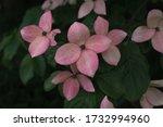 Pink Cornus Kousa  Commonly...