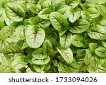 fresh micro green sorrel leaves.... | Shutterstock . vector #1733094026