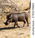 Muddy Warthog Walking In The...
