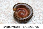 Close Up Of Millipede Curled Up ...