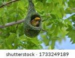 Asian Golden Weaver Bird Is...