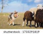 Australian Shepherd Red Merle...