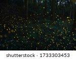 Firefly Luciola Parvula  In Th...
