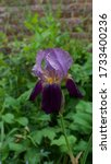 Small photo of Image of rare iris Hester Prynne with soft purple and maroon petals