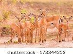 Herd Of Newborn Baby Impala