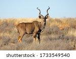 Male Kudu Antelope  Tragelaphu...