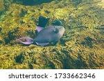 Redtoothed Triggerfish  Odonus...