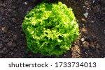 Curly Lettuce Garden. ...