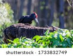 The Woodpecker Eating Ants. Th...