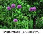 blooming purple flowers of...