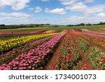 Full Bloom Tulips At Table Cap...