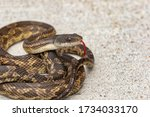 The Texas Rat Snake Is One Of...