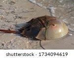 A Horseshoe Crab Makes Its Way...