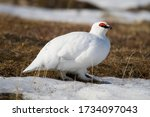 Rock Ptarmigan Arctic Birds...