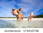 Swimming pigs of the Bahamas in the Out Islands of the Exumas - stock photo