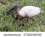 Black headed ibis  also known...