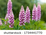 Blooming Macro Lupine Flower....