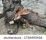Storm Damage. Broken Tree...