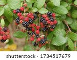 Close Up Photograph Of Ripe And ...