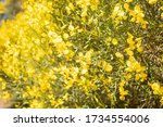 The Stems Of Rush Broom With...