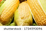 Closeup Photo Of Wet Corn Ears...
