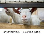 A Beautiful White Goat Is...
