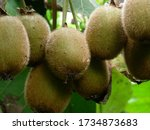 Small photo of Rize/Turkey - 16 August 2007: Close-up of fresh kiwi fruit on the branches. Kiwifruit plant (Actinidia chinensis) is a semitropical, deciduous, large woody vine belonging to the family of Actinidiacea