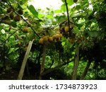 Small photo of Rize / Turkey - 16 August 2007: Image of fresh kiwi fruitS on the branches. Kiwifruit plant (Actinidia chinensis) is a semitropical, deciduous, large woody vine belonging to the family of Actinidiacea