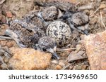 A killdeer nest made of pebbles and debris full of babies and one more unhatched egg.