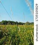 Wild Cogon Grass  Imperata...