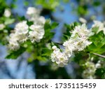 Close Up Of White Blossoms Wit...