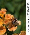 Closeup Black Garden Ant ...