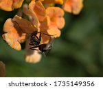 Closeup Black Ant On Orange...