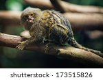 Pygmy Marmoset  The Smallest...