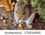 Closeup Of Gray Squirrel  A...
