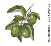 hand drawn blooming lime branch ... | Shutterstock .eps vector #1735190426