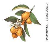 hand drawn blooming kumquat... | Shutterstock .eps vector #1735190510