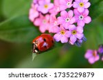 Ladybug On A Leaf And Forget Me ...