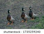 Three Ducks Walking In Group...