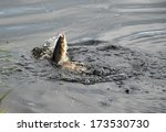 Small photo of An American Shad is caught on a spinning rod with a shad dart on the Annapolis River, Nova Scotia.