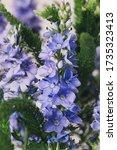 wild blue bells flowers macro... | Shutterstock . vector #1735323413