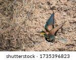 European Bee Eater Or Merops...