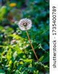 Dandelion  A Compositae Plant...