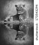 lion with reflection in the...   Shutterstock . vector #173543294