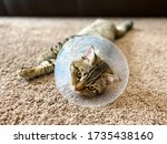 Playful Tabby Cat  Breed...
