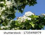 Flowering Hawthorn Tree With...